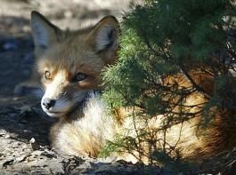 fox424